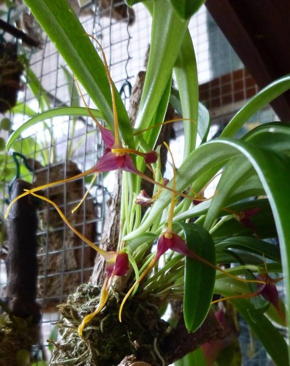 Miniatur- Orchideen - Seite 23 Masd_h11