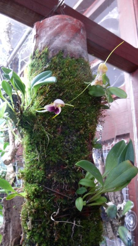 Miniatur-Orchideen 2. Teil - Seite 3 Masd_l10
