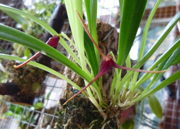 Miniatur- Orchideen - Seite 23 Masd_x10