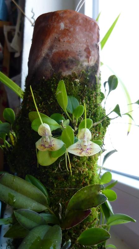 Miniatur-Orchideen 2. Teil - Seite 2 Masdev11