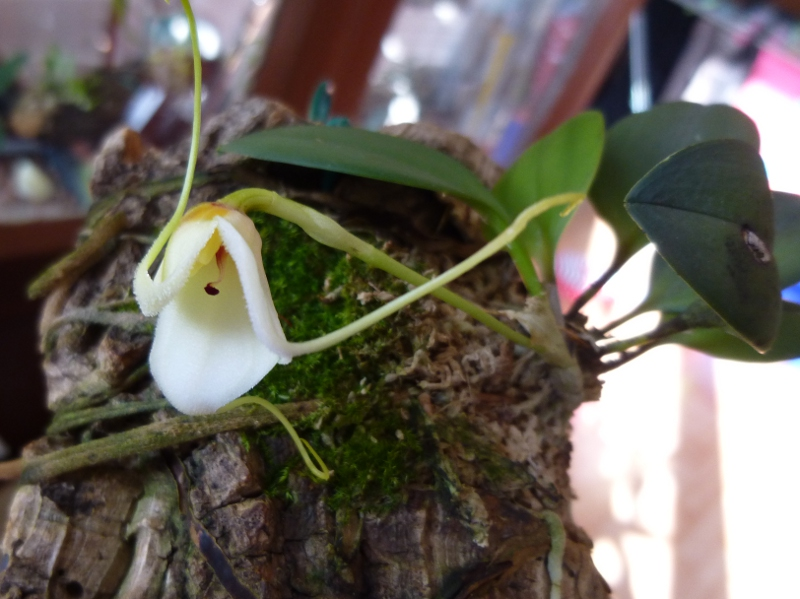 Miniatur-Orchideen 2. Teil - Seite 3 Masdev23