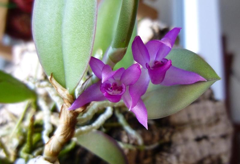 Miniatur- Orchideen - Seite 23 Meirac10