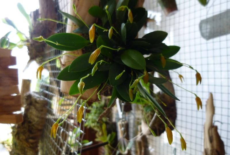 Miniatur- Orchideen - Seite 23 Plth_s10