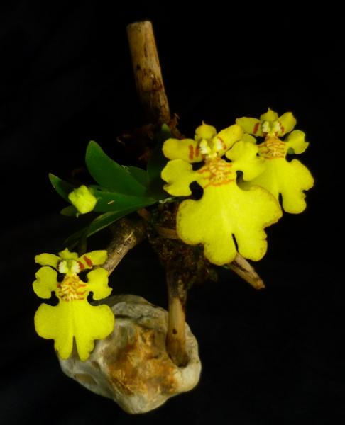 Psygmorchis (Erycina) pusilla Psygmo11