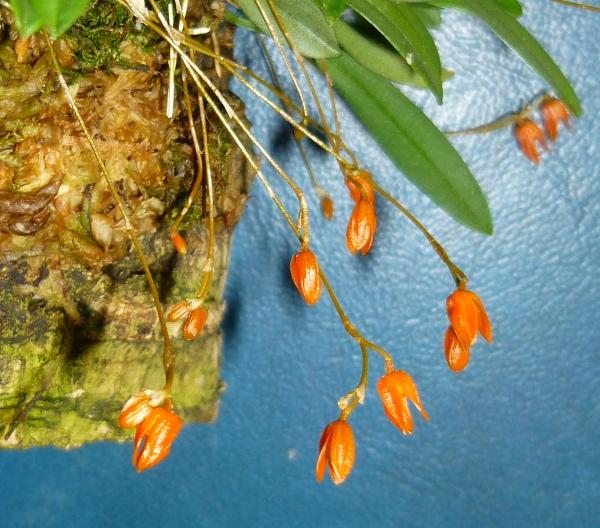 Miniatur- Orchideen - Seite 21 Speck_11