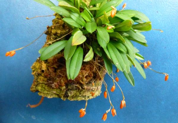 Miniatur- Orchideen - Seite 21 Speckl11