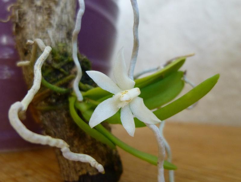 Miniatur- Orchideen - Seite 23 Thrixs10