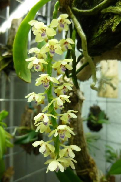 Miniatur-Orchideen 2. Teil - Seite 5 Tubero11