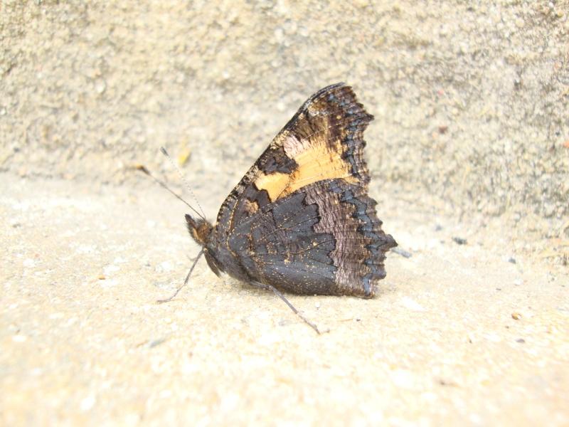 Aglais urticae (Petite tortue) Aglais11