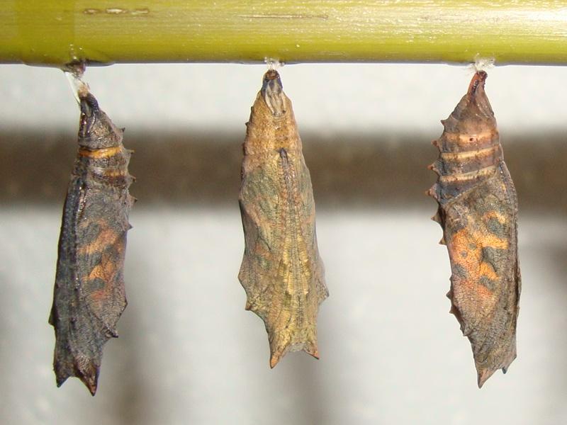 Aglais urticae (Petite tortue) Chrysa13