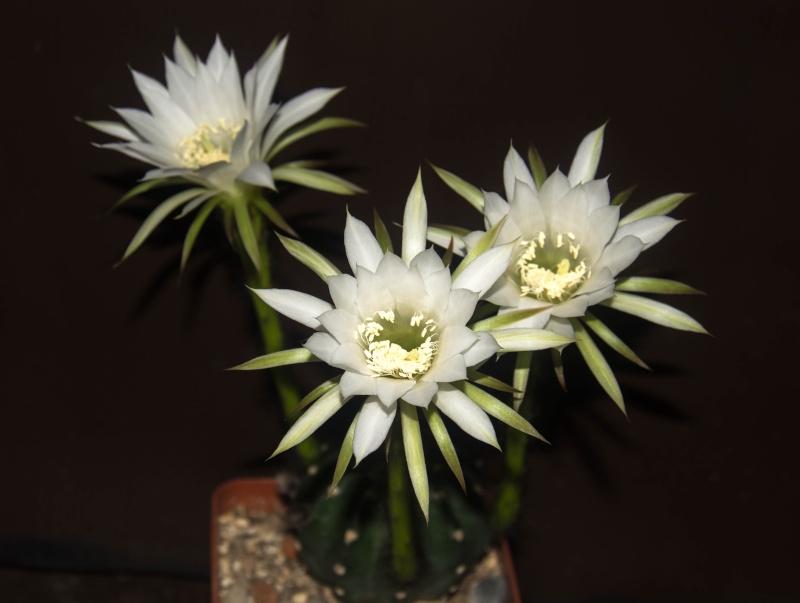 Cactus en fleur. 2014_037