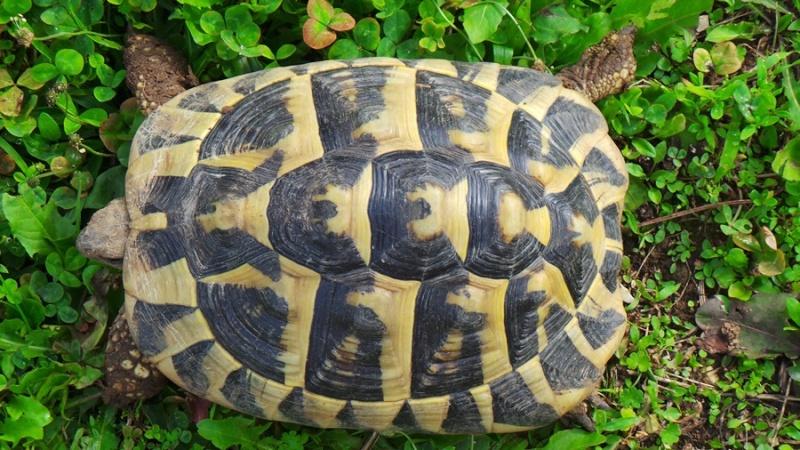 Deux tortues à identifier 20140815