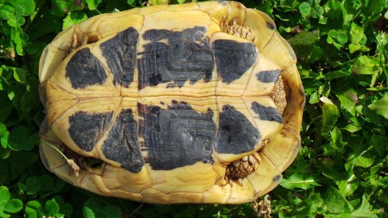 Deux tortues à identifier 20140820
