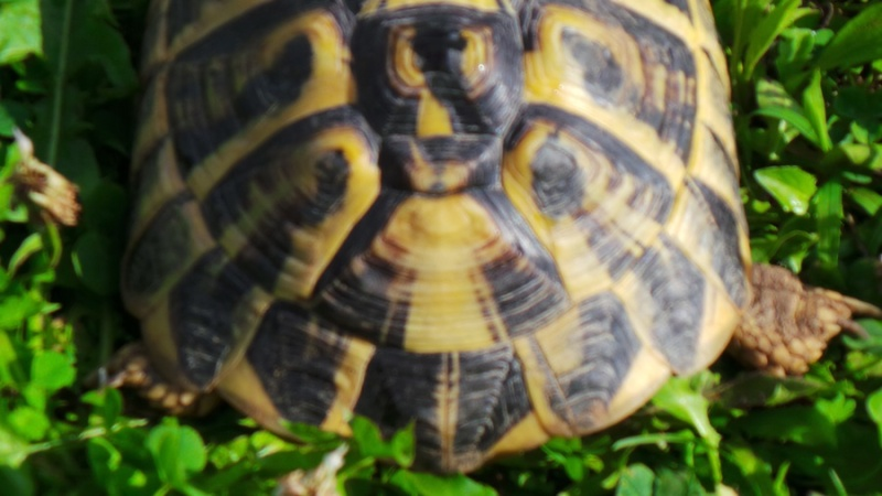 Deux tortues à identifier 20140821