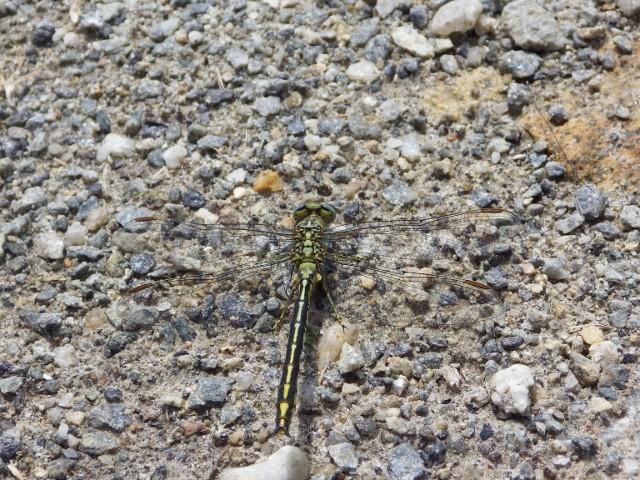 Deux libellules indeterminées Imgp1510