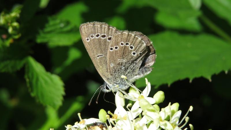 Papillons petits 2 espèces ? Papill10