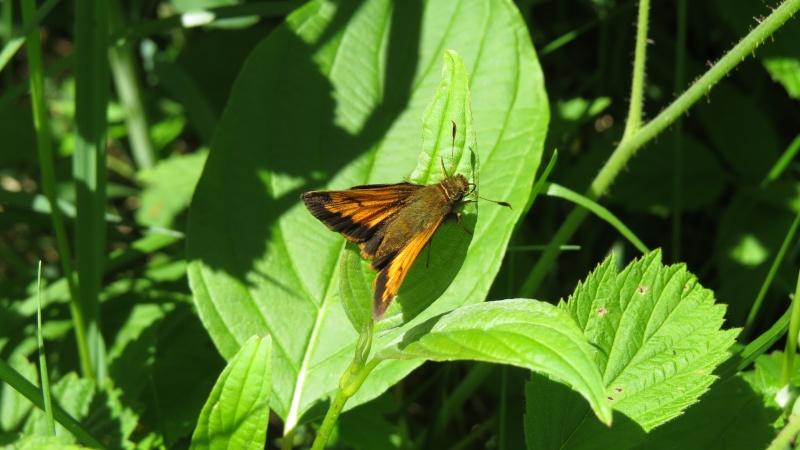 Papillons petits 2 espèces ? Papill11