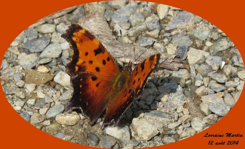 Papillon orangé le nom SVP Merci  Papill16