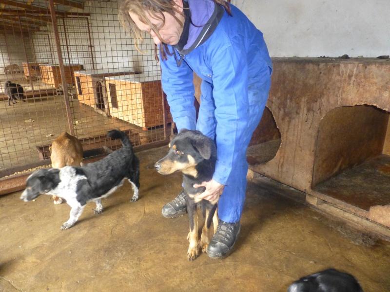 chien 39 - TAMS, M-X, taille moyenne, env. 23 kg, né 2012 (Fourrière BACKA) Pris en charge Animals Rescue No_38_10