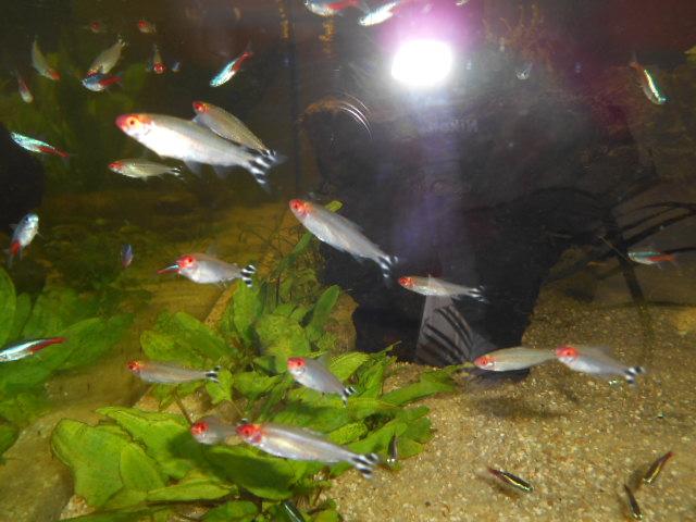 aquarium 1300 litres amazonie Dscn0142