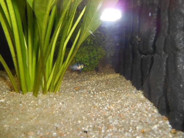 aquarium 1300 litres amazonie Dscn0143