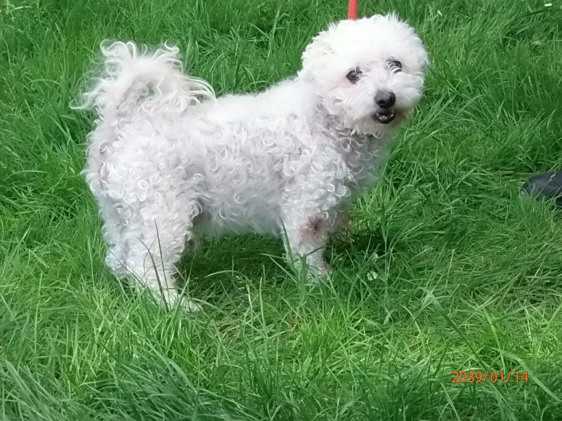 SCOTTY BICHON FRISE 13 ANS Scotty12