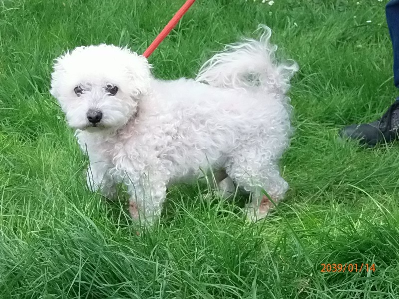 SCOTTY BICHON FRISE 13 ANS Scotty13