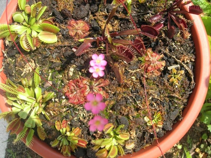 Dédicace pour Erlin: 1eres fleurs de droseras X Tokaiensis Dscn9410