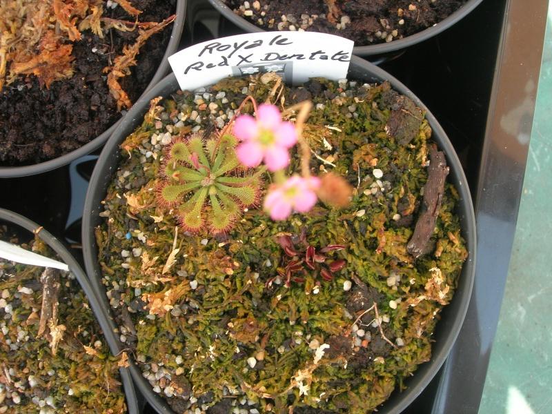 Dédicace pour Erlin: 1eres fleurs de droseras X Tokaiensis Dscn9411