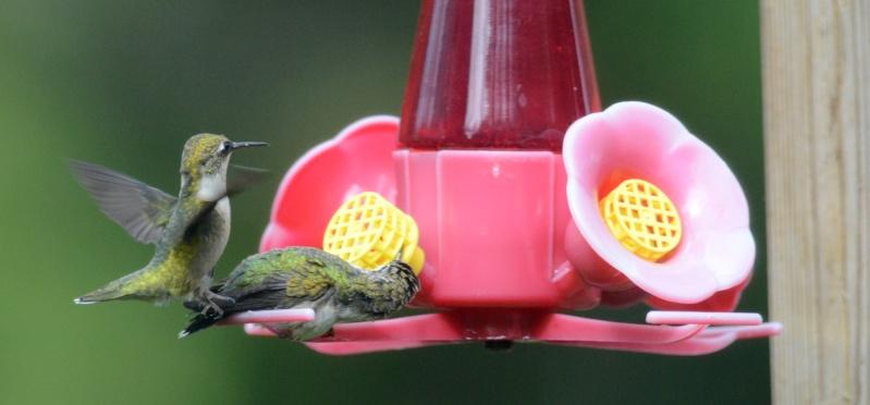 Une maman colibri fait de l'éducation Benvoy10