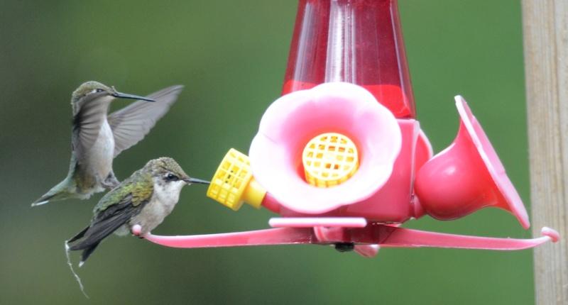 Une maman colibri fait de l'éducation Bonenf10