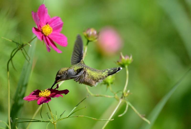 Colibri dans une fleur Colfle10