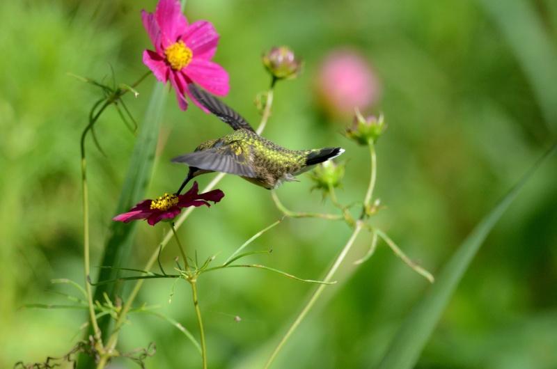 Colibri dans une fleur Colibr10