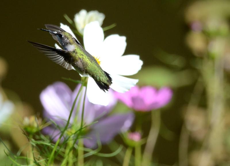 Colibri dans une autre fleur  Colibr11