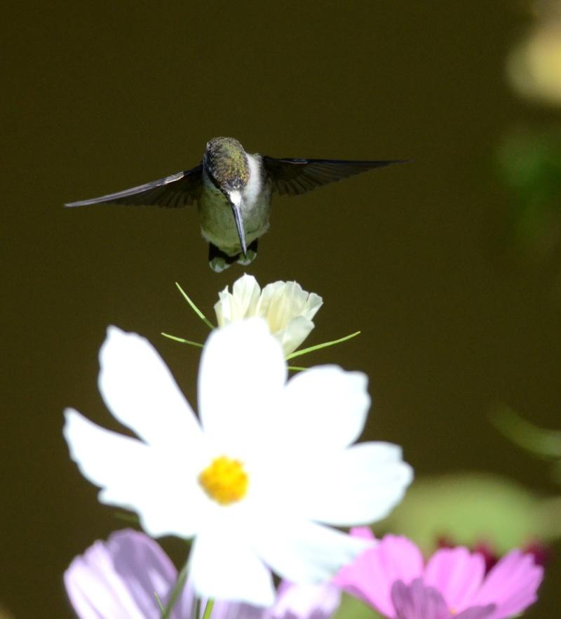 Colibri dans une autre fleur  Colibr12