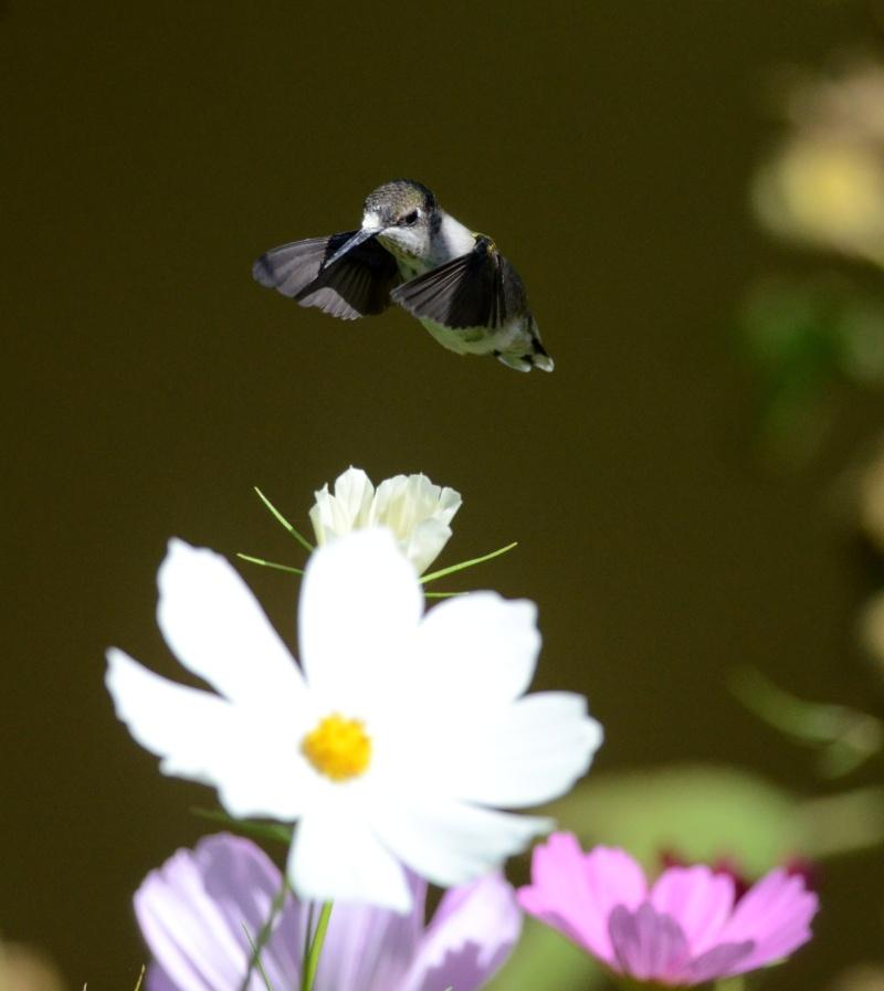 Colibri dans une autre fleur  Colibr13