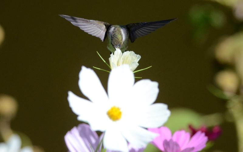 Colibri dans une autre fleur  Colibr14