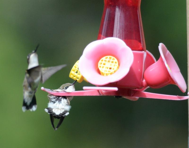 Une maman colibri fait de l'éducation Colibr16
