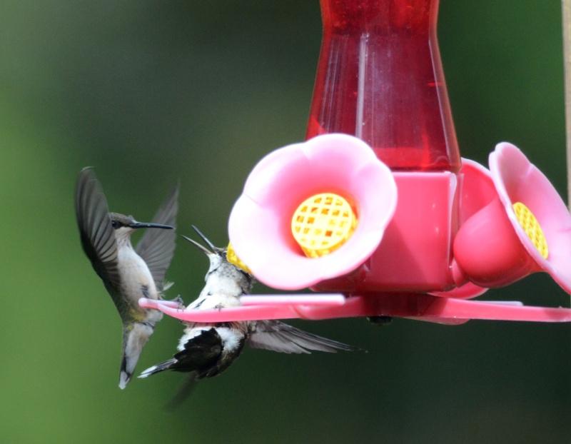 Une maman colibri fait de l'éducation Colibr17