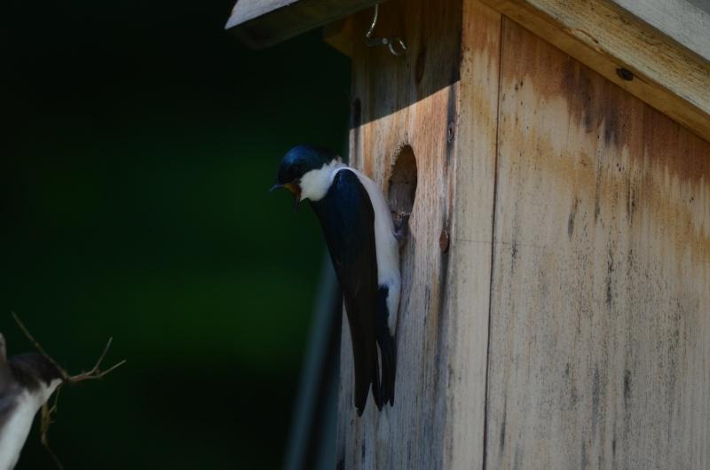 Hirondelles qui commence un nid à cette date? Dsc_0211