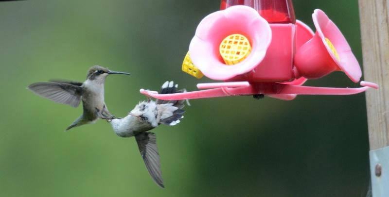 Une maman colibri fait de l'éducation Iltomb10