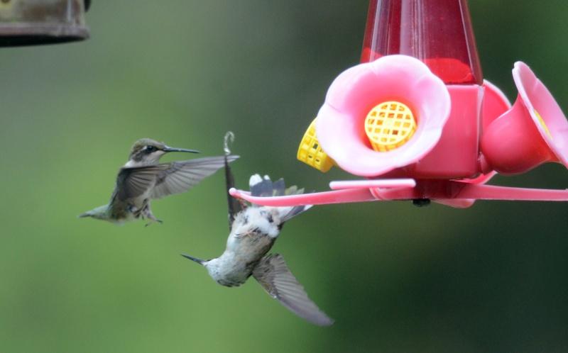 Une maman colibri fait de l'éducation Iltomb11