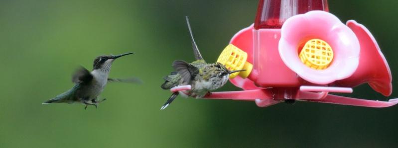 Une maman colibri fait de l'éducation Jaidit10