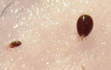 kingii parasite tique? Pasted10