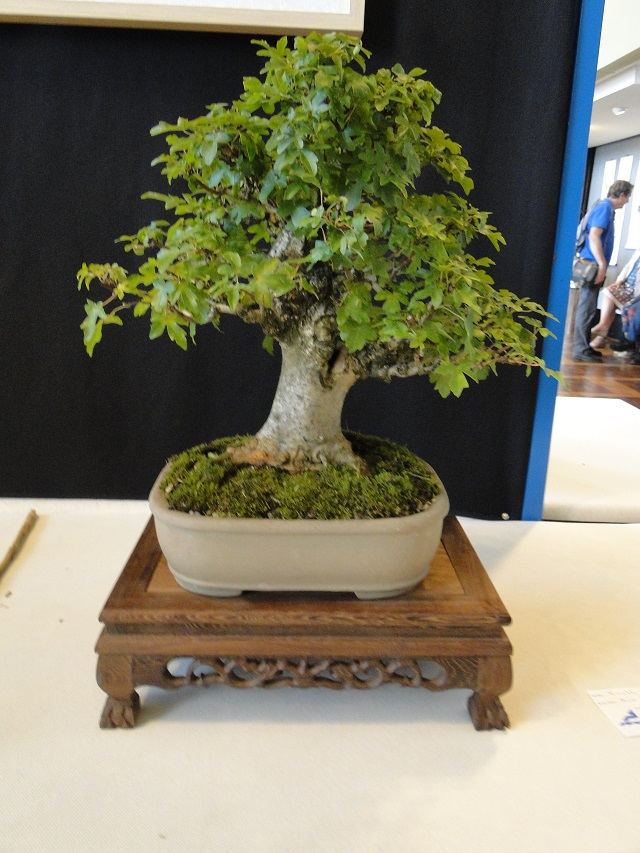 la passion du bonsai - Page 6 Dsc06316