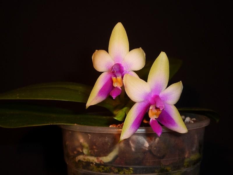 Phalaenopsis bellina - Seite 2 Phalae11