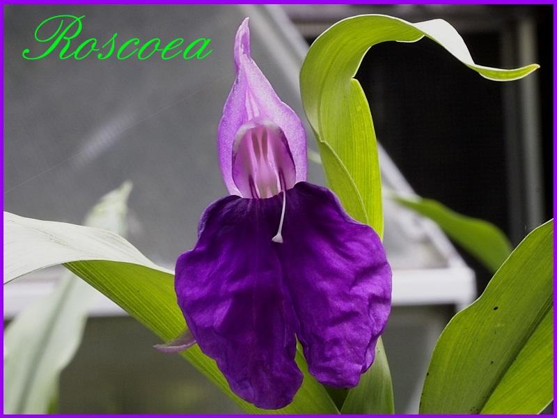 Ingwergewächse (Zingiberaceae) _1010216