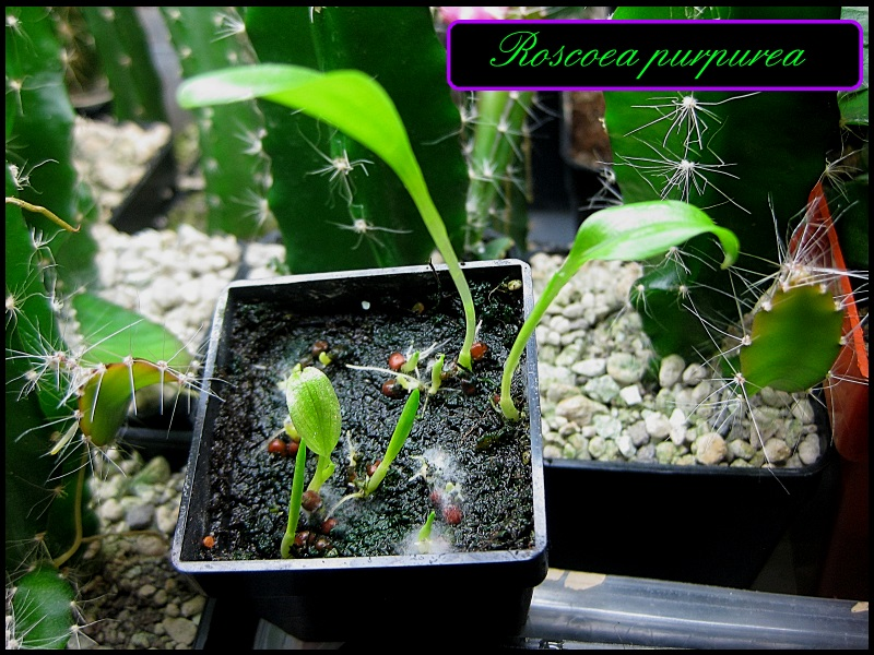 Ingwergewächse (Zingiberaceae) Img_5310