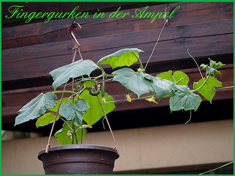 Kürbisgewächse - Cucurbitaceae: Melonen, Gurken, Kürbisse und Zucchini - alle Verteter der nichtsukkulenten Arten P1011311