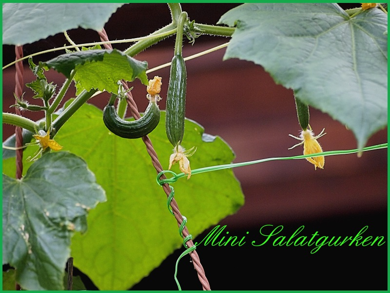 Kürbisgewächse - Cucurbitaceae: Melonen, Gurken, Kürbisse und Zucchini - alle Verteter der nichtsukkulenten Arten P1011312